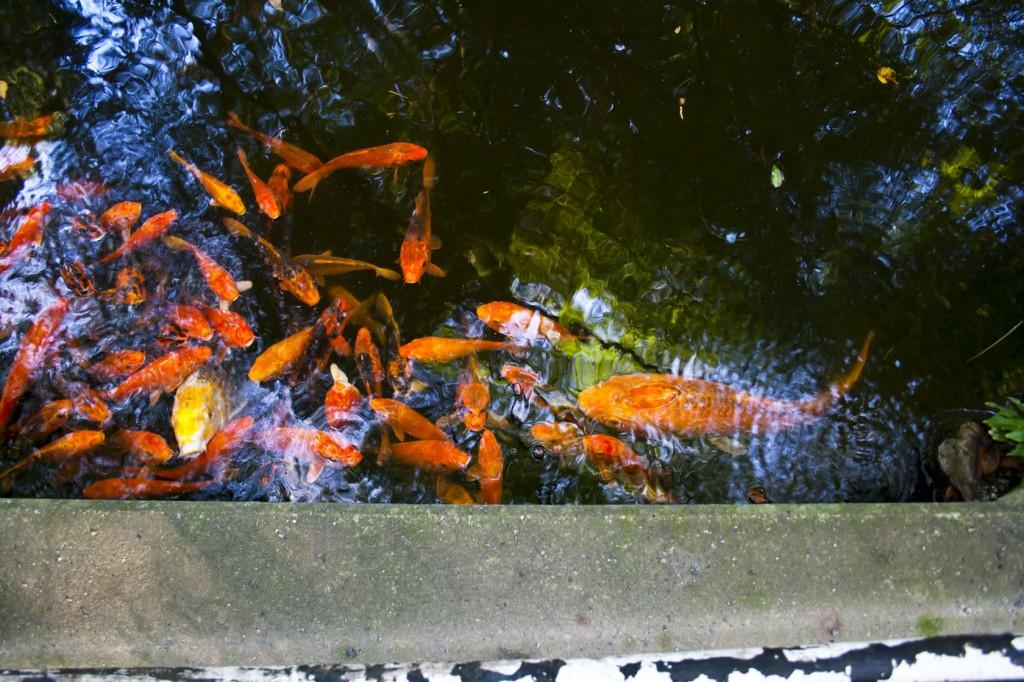 Kois im Teich am Wasser Schrein
